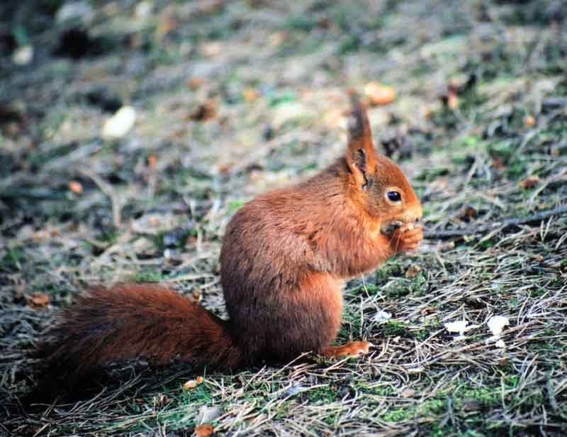 photograph of red squirrel