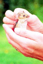 photograph of woodmouse